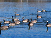 A Gaggle Of Canadian  Geese Royalty Free Stock Images