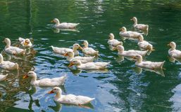 Gaggle of ducks Royalty Free Stock Photos
