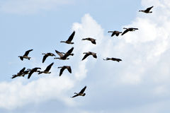 Gaggle of Geese against blue sky Stock Photo
