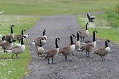 A gaggle of geese Stock Photos