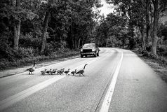 Gaggle of Geese crossing road black and white. stock images