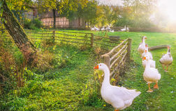 Gaggle of geese exiting a yard stock photos