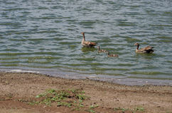 Gaggle of geese Stock Photography