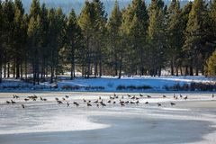 A gaggle of geese on an ice. royalty free stock image