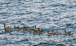 A Gaggle of Geese on Lake Michigan Royalty Free Stock Images
