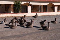 A gaggle of geese sitting in the road. Royalty Free Stock Photo