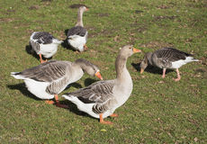 Gaggle of Greylag Geese feeding. Five Greylag geese grazing in field Stock Images