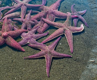 Gaggle of sea stars Royalty Free Stock Photos