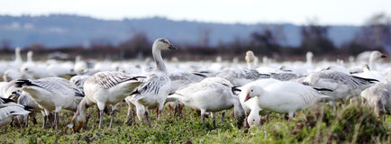 Gaggle of Snow Geese Royalty Free Stock Image