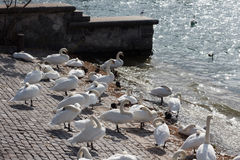 A gaggle of swans at the edge of the lake in Zurich Switzerland. Beautiful Royalty Free Stock Photos