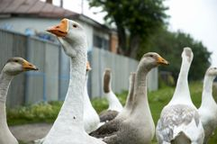 Gaggle in a village Royalty Free Stock Photo