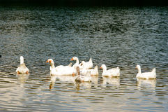 Gaggle of white geese in lake water. Gaggle of white geese swimming on top of rippled lake with copy space below and beneath them Stock Photo