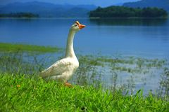 Gaggle of white goose Royalty Free Stock Images