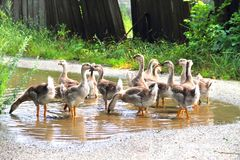 Gaggle of young domestic geese Stock Images