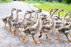 Gaggle of young domestic geese Stock Photo