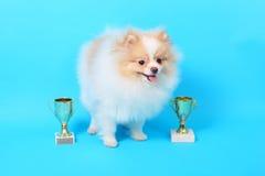 Gagnant de chiot de Spitz photographie stock