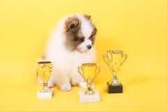 Gagnant de chiot de Spitz photo libre de droits