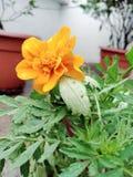 Gahda flower royalty free stock image