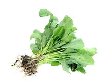 Gai lan tree Royalty Free Stock Image