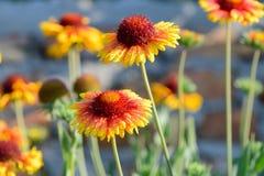 Gailardia de la flor Fotos de archivo libres de regalías