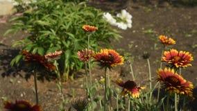 Gailardia ist eine einjährige Pflanze für den Garten stock video