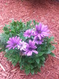 GAILARDIA kwiat piękno Zdjęcia Royalty Free