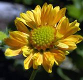 Gaillarda Summers Kiss. Common Name: Blanket Flower Single lovely soft apricot-yellow bloom with kiss of peach-orange and large greenish eye with blurred nature Royalty Free Stock Photo