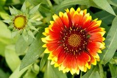 gaillardia λουλουδιών στοκ φωτογραφία