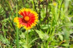 Gaillardia & x28; Одеяло Flower& x29; стоковое изображение rf