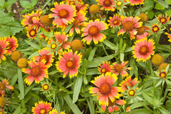 Gaillardia Royalty Free Stock Photos