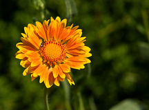 Gaillardia 2 Royalty Free Stock Images