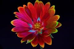 Gaillardia Royaltyfri Bild