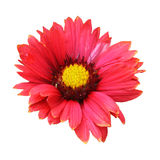 Gaillardia Stock Photography