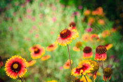 Gaillardia aristata Royalty Free Stock Photography