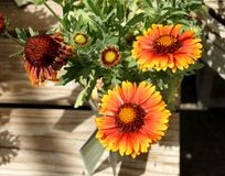 Gaillardia aristata 'Arizona Red Shades' Stock Photo