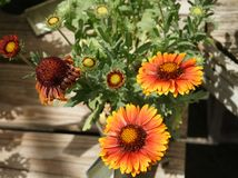 Gaillardia aristata 'Arizona Red Shades' Stock Photography