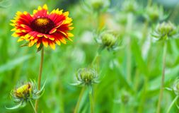Gaillardia aristata, blanket flower, flowering plant. In the sunflower family royalty free stock image