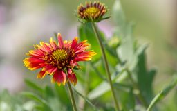 Gaillardia aristata, blanket flower, flowering plant in the sunflower family. With depth of field royalty free stock photography