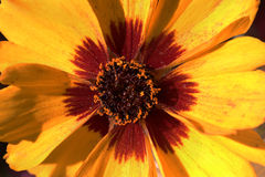 Gaillardia aristata Macro Stock Images