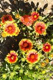 Gaillardia aristata Royalty Free Stock Images