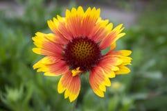 Gaillardia aristata red yellow flower in bloom Stock Photo