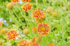 Gaillardia aristata red yellow flower in garden Stock Photos