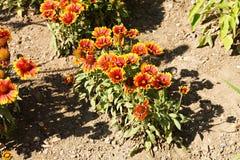 Gaillardia aristata Royalty Free Stock Image