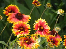 Gaillardia. Beautiful flowers dancing gone with the wind Stock Images