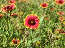 Gaillardia- Blanket Flower. Beautiful red petals with yellow tips royalty free stock image
