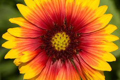 Gaillardia Blanket Flower Royalty Free Stock Images