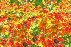 Gaillardia brillante en una cama de flor soleada, primer Fotografía de archivo