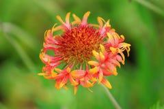 Gaillardia dei fiori Fotografie Stock