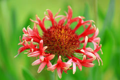 Gaillardia dei fiori Immagini Stock