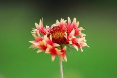 Gaillardia dei fiori fotografie stock libere da diritti